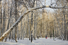 Trees in snow at winter Park.Russia Royalty Free Stock Photography
