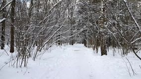 Trees in the snow in the winter. POV walking in winter snowy forest stock video footage