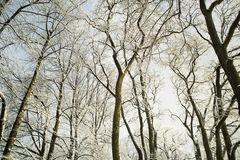 Trees in snow in the winter wood Royalty Free Stock Photography
