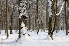 Trees snow wrapped blizzard after Royalty Free Stock Images