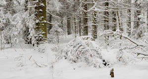 Trees snow wrapped after blizzard Royalty Free Stock Photo