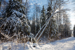 Trees snow wrapped blizzard after Stock Image
