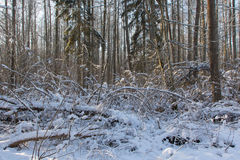 Trees snow wrapped blizzard after Royalty Free Stock Photography