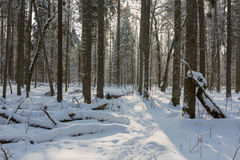 Trees snow wrapped blizzard after Royalty Free Stock Image