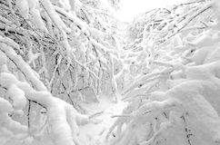 Trees in snowfall. Trees in winter snow storm Stock Images