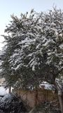 Trees with Snows. In Winter Stock Photo