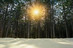 Trees and snowy field Stock Photography