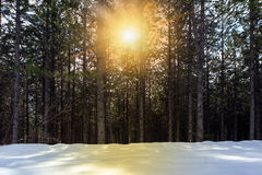Trees and snowy field Royalty Free Stock Photos
