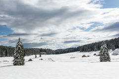 Trees on a snowy meadow. With cross country skiing tracks around them Stock Photography