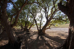 Trees at Socotra island Royalty Free Stock Photo
