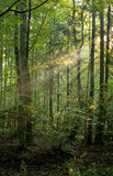 Trees in a soft early morning light. Deciduous forest royalty free stock images