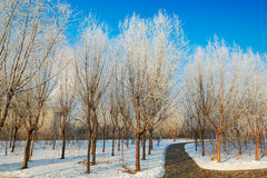 The trees with soft rime and path scenery Royalty Free Stock Photography