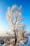 The trees with soft rime Stock Photography