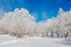 The trees with soft rime on the snowfield Stock Photo