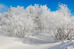 The trees with soft rime and white snow Stock Image