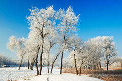 The trees with soft rime in winter Royalty Free Stock Photos