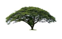 Trees som isoleras på vitbakgrund Royaltyfri Foto