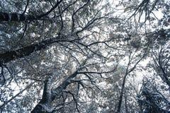 Trees som räknas med snow Royaltyfri Foto