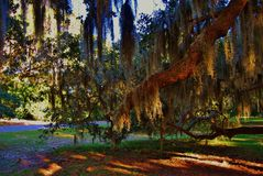 Trees with Spanish moss Royalty Free Stock Image