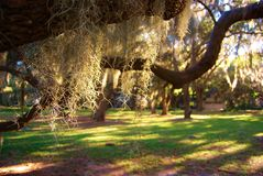 Trees with Spanish moss Stock Images