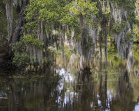 Trees, Spanish Moss and Reflections. Spanish moss hanging from Cypress trees in the swamps of Louisiana and reflections in water Royalty Free Stock Image
