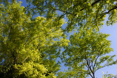 Trees at spring. Spring in Lush forest of green trees Royalty Free Stock Images