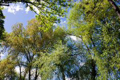 Trees at spring. Spring in Lush forest of green trees Stock Images