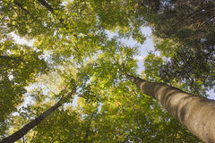 Trees at spring. Spring in lush forest of green trees, view of tall beech treetops in the blue sky background, a bright and peaceful day in the wood, environment Royalty Free Stock Photo