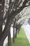 Trees in Spring. Dark trees in a row line up a footpath of blossoming trees Royalty Free Stock Photos