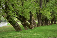 Trees in the spring. Beautiful trees near the river Royalty Free Stock Photo