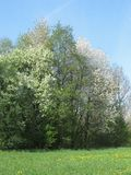 Trees in spring. Edge of forest in spring with some blooming trees Stock Photography