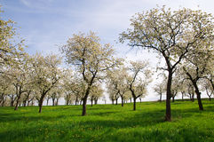 Trees on the Spring Meadow. Many growing trees on the spring meadow Stock Photo