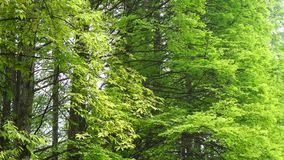 Trees in spring. Trees with new leaves in spring stock footage