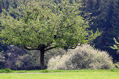 Trees in spring time Royalty Free Stock Images