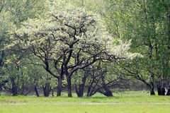 Trees in spring time Royalty Free Stock Image