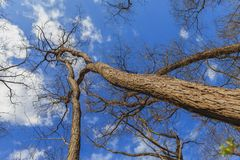 Trees in spring in the woods, view up. With clear blue skies Royalty Free Stock Photo