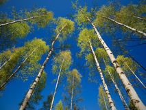 Trees in the Springtime Forest. Stock Photography