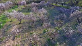 Trees in springtime. sunshine light. flying. aerial view. Camera flight over cherry blossom tree. Orchard in spring landscape. Industry and agriculture stock video footage