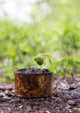 Trees sprouted in rusty cans and raindrops Royalty Free Stock Photo