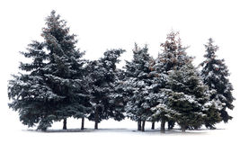 Trees spruce Stock Image