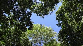 Trees stagger in the sky. Crowns of trees stagger against the blue sky stock video footage