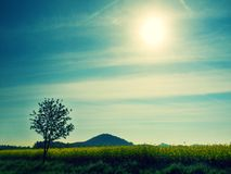 Trees, stalk of rape in the spring yellow field of blooming rapes, the sharp hill on the horizon. Stock Photography