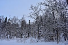 The trees stand in a snowy shroud stiffened and black, but winter has tried - and they rise above the forest in snow-white coats. Snow on the ground and trees stock photo