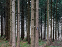 Trees standing densly together in a Swiss forest. A dense forest where the trees stand close together Royalty Free Stock Photography