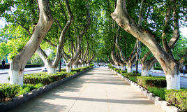 The trees standing on the road Royalty Free Stock Photos