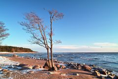 Trees and stones at the sea beach. Trees and stones on Finnish Gulf coast, Finland Royalty Free Stock Photo
