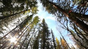 The trees stretching up. Trunks of trees stretching up to the sun stock footage
