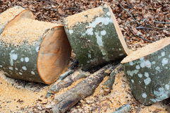 Trees and stumps in the forest Royalty Free Stock Photo