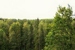 Trees in summer forest. High trees in summer forest Stock Image
