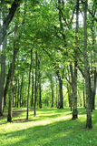 Trees in Summer Forest Landscape Royalty Free Stock Image